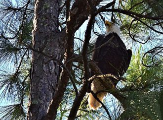 Bald eagle will hunt down drones during Amelia Island Concours d'Elegance