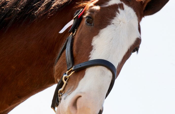 Clydesdale joins vintage tractors at Gone Farmin' sale in Iowa