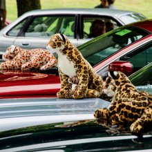 Jaguars pounce on showcase at Beaulieu