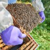 Bentley's 'Flying Bees' produce their first crop of honey